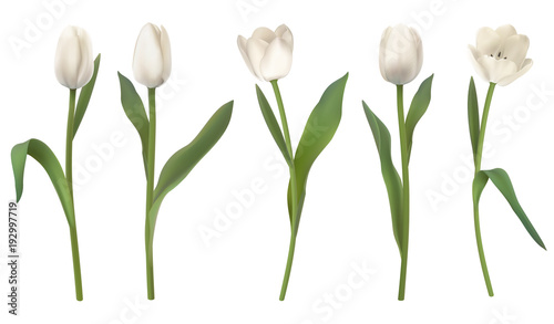 Fotomural  Set of red realistic vector tulip flowers