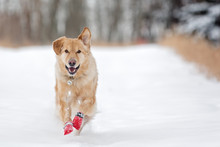 Dog Running In Snow In Boots