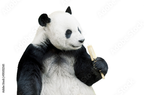 Photo Stands Panda Giant panda eating bamboo isolated over white