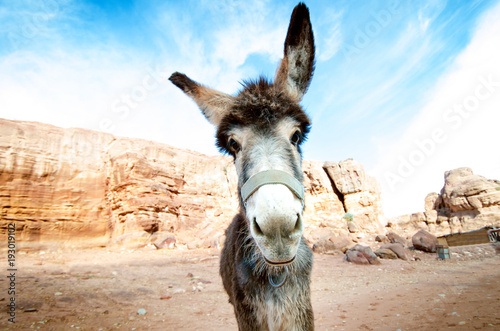 Foto op Canvas Ezel Donkey on a desert in Jordan national park - Wadi Rum desert. Travel photoshoot. Natural background.