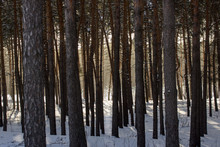 Thick Pine Forest Behind Tall Trees Which Can Be Seen The Bright Glow Of The Winter Sun