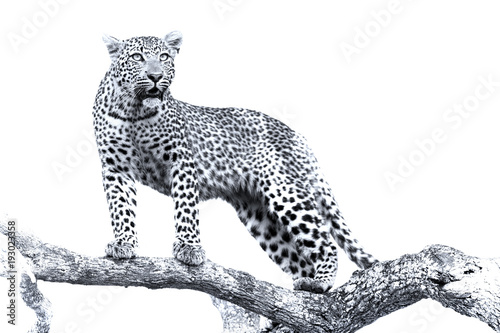 Photo Stands Panther Artistic conversion of a leopard in big tree with thick branches