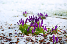 Purple Crocus Flowers Blooming...