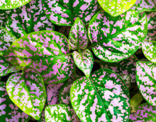 Green And Purple Leaf, Decorative Plant Detail