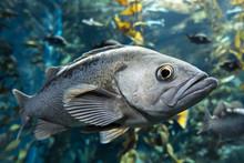 Largemouth Bass Micropterus Sa...