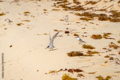 Fotografia  The gull billed tern birds on the beach of Caribbean sea, Mexico