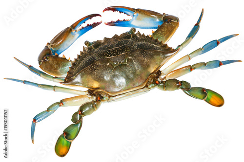 Blue Crab with white background.Top view