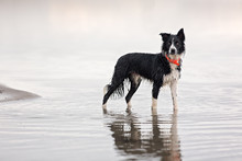 Border Collie Standing In Lake