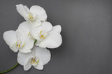 romantic branch of white orchid on gray background.
