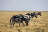 Fototapeta Sawanna - stado zebr stojących w rzędzie wśród pożółkłych traw afrykańskiej sawanny