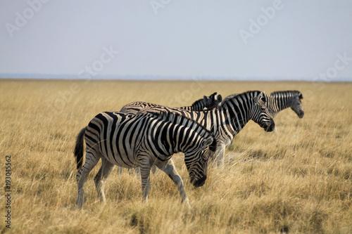 stado zebr stojących w rzędzie wśród pożółkłych traw afrykańskiej sawanny