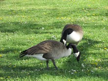 Two Canadian Geese (Branta Can...