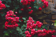 Flowering Bushes Of Red Garden Roses On Brick Wall