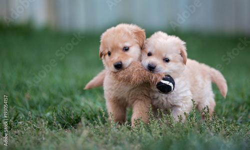 Two golden puppies fetch a toy together Tapéta, Fotótapéta