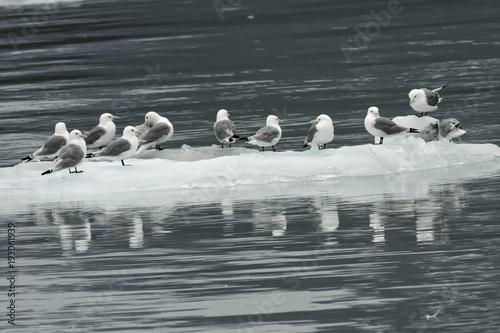 Gulls/Kittiwakes resting ice floe;  Alaska Poster