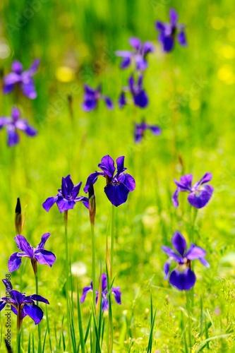 Fotobehang Iris 緑の中に咲くアイリス