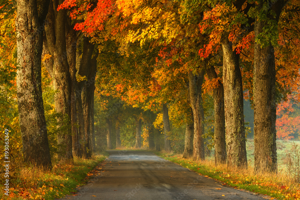 Fototapety, obrazy: Autumn country road alley / Beautiful old autumnal season trees scenery in north Poland