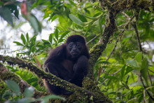 Young Howler Monkey In Tree