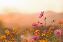 Cosmos Colorful Flower In The ...