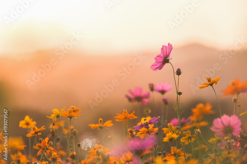 Poster Fleuriste Cosmos colorful flower in the field. Photo toned style Instagram filters. Nature background.