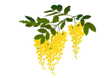 Cassia Fistula Flower,Blossoming Acacia With Leaf Isolated On White Background, Acacia Flowers, Ratchaphruek