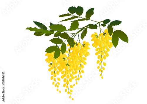 Photo Cassia fistula flower,Blossoming acacia with leaf isolated on white background,
