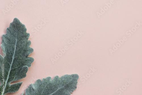 Cuadros en Lienzo Silver dusty miller leaves on pastel pink background