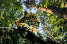 Leopard On The Rock, In The Fo...