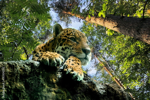 Leopard on the rock, in the forest