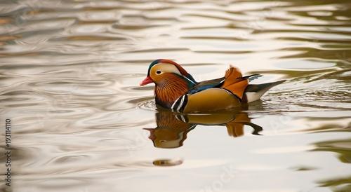Mandarinente (Aix galericulata), Erpel im Prachtkleid schwimmt im Wasser eines Sees, Hessen, Deutschland, Europa