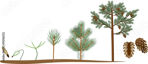 Obraz Pine tree life cycle. Plant growin from seed to mature pine tree with cones - fototapety do salonu