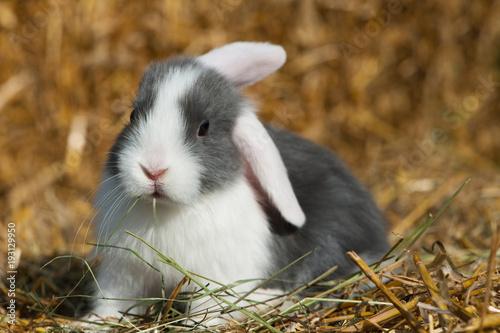 Weißohr Zwergwidder Kaninchen Baby