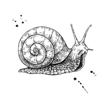 Snail Vector Drawing. Hand Dra...