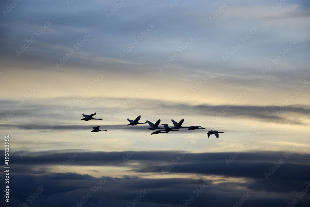 Swarm of migratory birds swans sunset sunrise clouds
