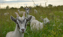 Young Goats Graze In A Meadow