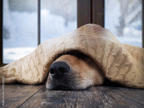 Fotografía  The dog freezes. Funny dog wrapped in a warm blanket