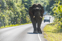 Wildlife, Asian Elephant Walki...