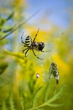 Spider - Argiope Bruennichi, S...