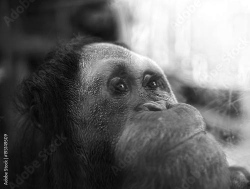 Fotografie, Obraz  orangutan