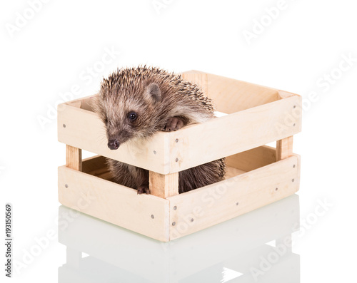 Fotografie, Obraz  Funny gray hedgehog trying to get out of wooden box, isolated on white