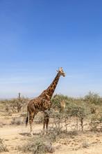 Giraffes Among The Trees On The Savanna