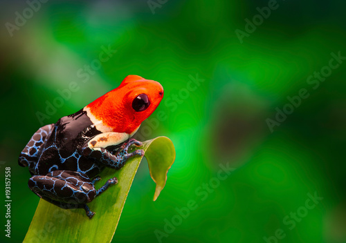 Canvas Print Red headed poison dart frog , ranitomeya fantastica