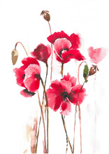 Delicate Blossoming Poppies On...