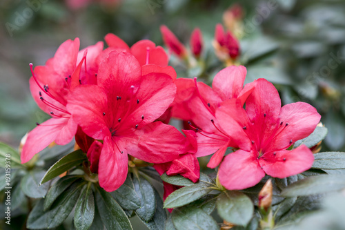 Foto auf Leinwand Azalee Brightly red azalea flowers close-up.