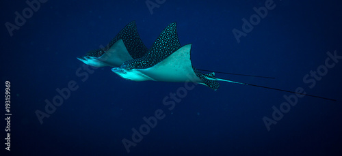 Poster Aigle Spotted eagle ray on coral reef of the island Cozumel