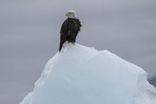 Bald Eagle On Iceberg;  Alaska