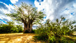 canvas print picture - Sun shining through a Baobab Tree in Kruger National Park in South Africa