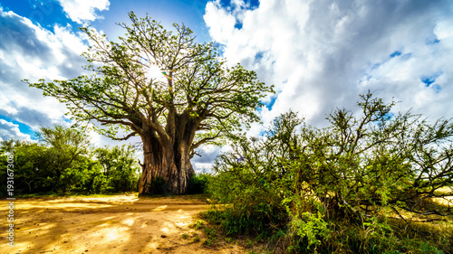 In de dag Baobab Sun shining through a Baobab Tree in Kruger National Park in South Africa
