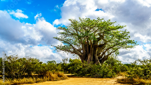 Baobab Tree under partly blue sky in spring time in Kruger National Park in South Africa