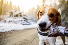 Beagle Dog Chewing Wooden Stick In Sunny Forest Morning Frost